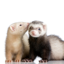 Anal tumors in ferrets